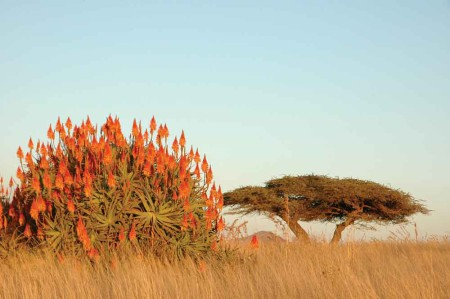 FD-Aloe-and-thorn-bush-hr