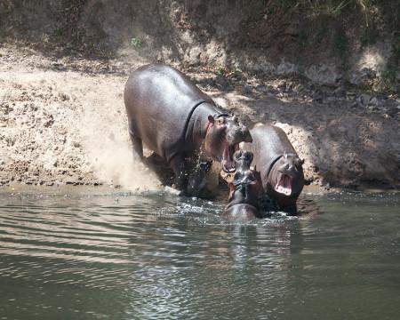 7.Hippo,-Masai-Mara