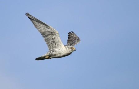 Gyr Falcon female pale morph Iceland 2010 1 Keith Offord