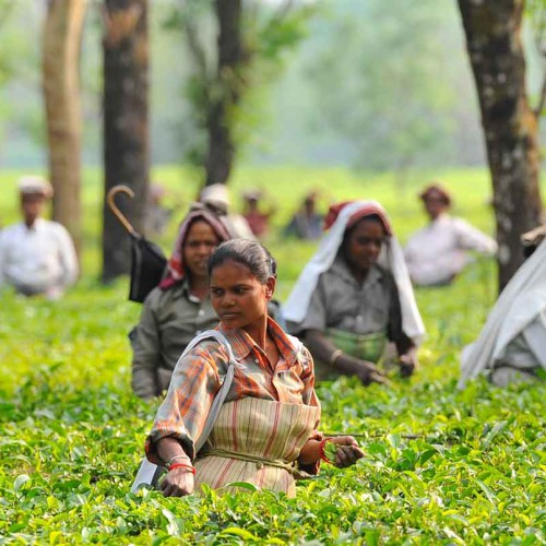 India's Eastern Tea Trails