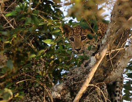 Yala_National_Park_Leopard_vjweer2310_shutterstock_61579540