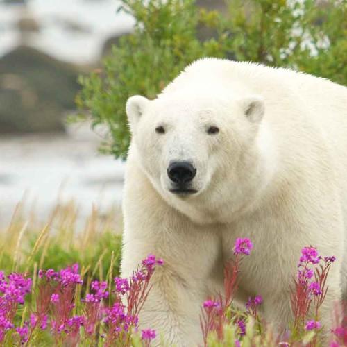 Churchill Town and Tundra Polar Bear