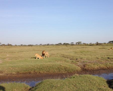 Augusta-Tanzania-Blog-lions-roaring