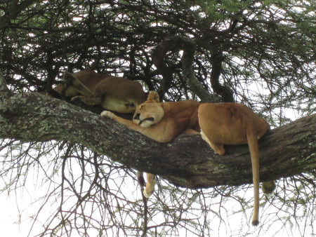 Augusta-Tanzania-Blog-lions-sleeping-in-a-tree