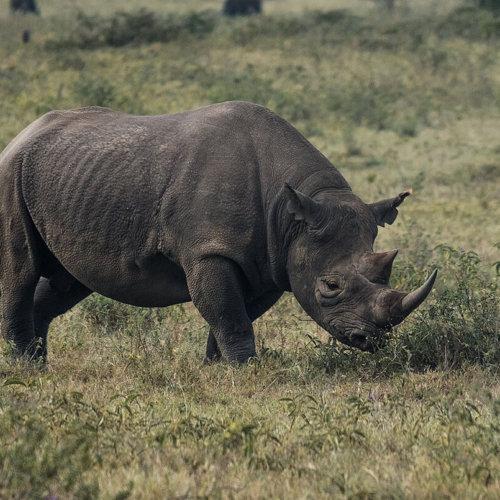 Saruni Rhino Camp